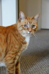 "Senior Male Cat - Domestic Short Hair: ""Oliver"""