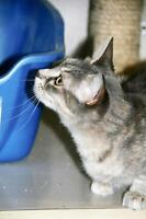 """Young Female Cat - Tabby - Grey: """"Roxy"""""""