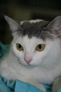 """Young Female Cat - Domestic Short Hair (Gray & White): """"Lulu"""""""