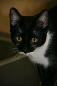 "Young Male Cat - Domestic Short Hair-black and white: ""Joey"""