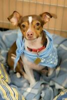 "Young Male Dog - Chihuahua-Jack Russell Terrier: ""Vinnie"""
