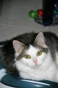 """Young Male Cat - Tabby - Grey: """"Cookie"""""""