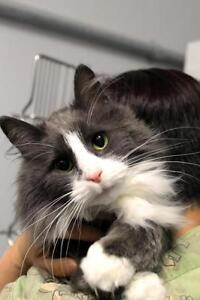 "Young Male Cat - Domestic Medium Hair - gray and white: ""Marty"""
