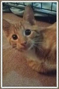 "Young Male Cat - Tabby - Orange: ""Simba"""