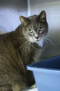"Senior Female Cat - Domestic Short Hair: ""Julia"""