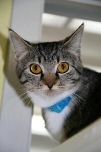 """Young Female Cat - Tabby (Gray): """"Skye"""""""