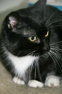 "Young Female Cat - Tuxedo: ""Cher"""