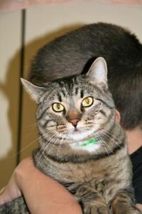 "Adult Male Cat - Tabby: ""Reggie"""