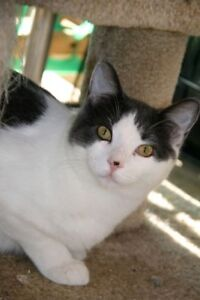 """Young Male Cat - Domestic Short Hair: """"Winter"""""""