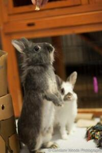 "Young Female Rabbit - Dwarf-Lionhead: ""Violet With Velveteen"""