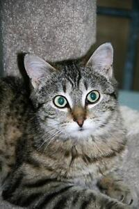 "Baby Male Cat - Tabby - Grey: ""Cameron"""
