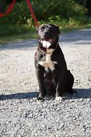 "Adult Female Dog - Pit Bull Terrier-Labrador Retriever: ""Mui'n"""