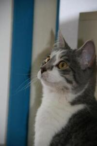 """Young Female Cat - Domestic Short Hair - gray and white: """"Dusty"""""""