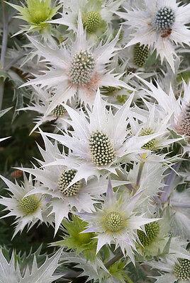 30+ Metalic Silver Sea Holly Flower Seeds / Eryngium / Perennial