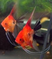WANTED RED ANGELFISH
