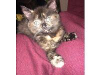 9 week old kitten, bengal cross ragdoll/norweigan forest