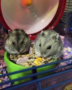 Baby hamsters for sale !