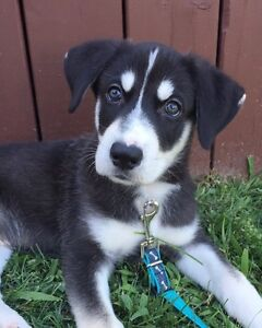 8 WEEK OLD MALE HUSKY PUPPY FOR REHOMING