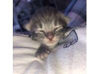 Kittens - Blue - Black - Tabby - Ginger/black/white
