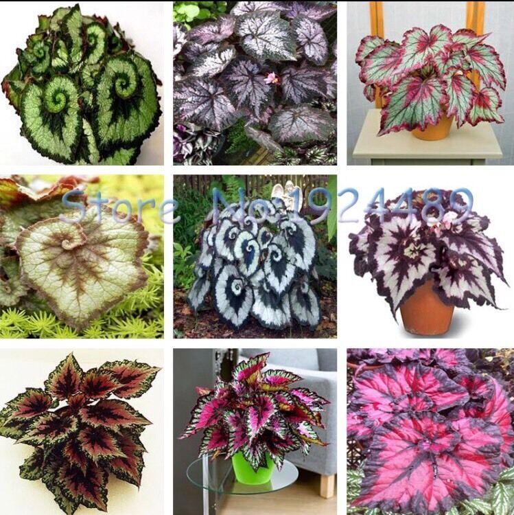 US-50PCS unique 9 colors Begonia flower seeds flowers potted bonsai garden (MIX)