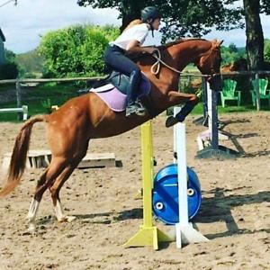 Sweetie - 10yo lovely mare