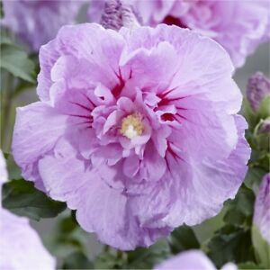 Lilac colored Rose of Sharon Plant