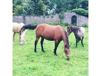 Companion pony full loan
