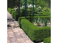 Hedging - Box - Buxus