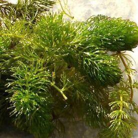 POND PLANTS CERATOPHYLLUM DEMERSUM (Hornwort)