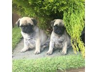 kc reg pug boys available now! Dad PDE N/N clear