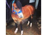 Registered welsh section A pony