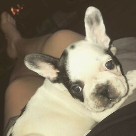 STUNNING PIED FRENCH BULLDOG PUPPIES 4 GIRLS 1 BOY