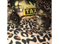 Beautiful tabby male kitten, 16w