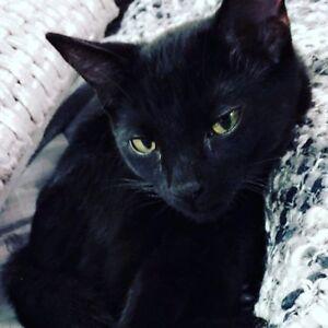Black male cat - Enzo