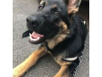 German shepherd puppy 7 month old female