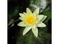 Various type of Water lilies for SALE 30x30