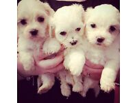 Full bred Maltese pups / puppies dogs