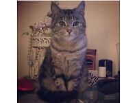 3 female cats for sale. All house trained, wormed and flead. All 3 years old