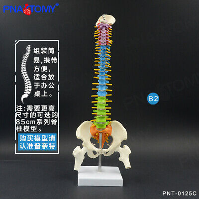 45cm18 Realistic Education Spine Model With Pelvis Anatomical Skeleton