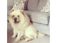 1.5 YEAR OLD CHOW CHOW MALE NEEDS REHOMING