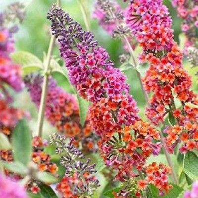 Purple Butterfly Flower - 25 Purple Orange Butterfly Bush Seeds Flower Flowering Perennial Garden Yard