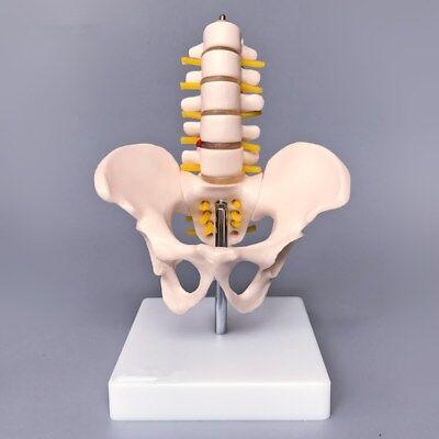 Human Pelvis Skeleton Anatomical Model With Lumbar Vertebrae Medical Anatomy