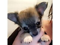 Pedigree female chihuahua pups