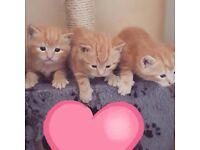 3 Ginger Kittens