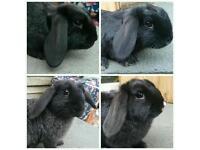 3 months old Mini Lop Rabbits