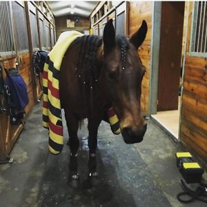 7 year old grade QH mare