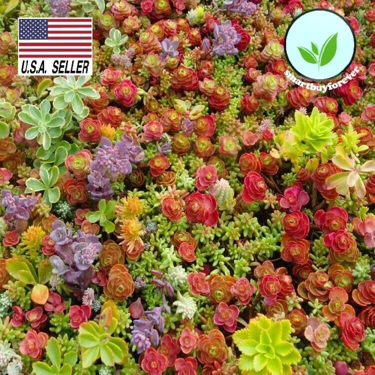 100+ Seeds Sedum mixed *succulents * Lithops excellent performing ground cover !