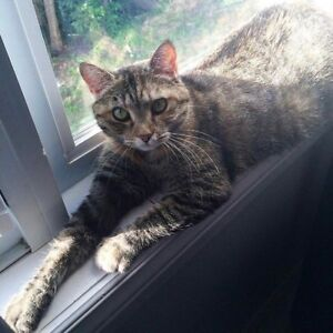 Female patch tabby, spayed & microchipped