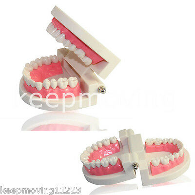 Dental Teaching Study Adult Standard Typodont Demonstration Tooth Teeth Model