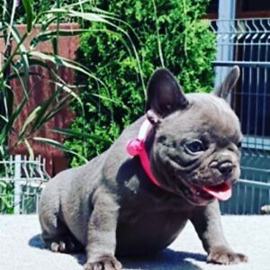 High quality blue female French bulldog puppy for sale